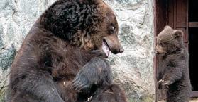 دب أنثى تعاقب طفلها ثم تحنو عليه في حديقة حيوانات بأوكرانيا