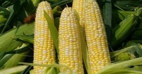 مصر ترفض دخول 26 ألف طن من حبوب الذرة الأوكرانية إلى أراضيها