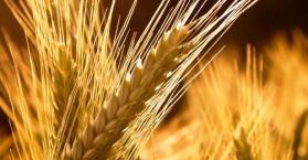 وصول 22.5 ألف طن من القمح الأوكراني إلى ميناء الإسكندرية المصري