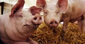الفاو تحذر من انتشار وباء طاعون الخنزير الأفريقي بين الحيوانات في أوكرانيا