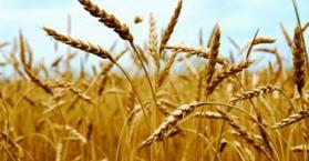مصر تنتظر قرارا رسميا من أوكرانيا حول حظر تصدير القمح